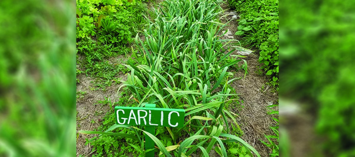 Garlic row