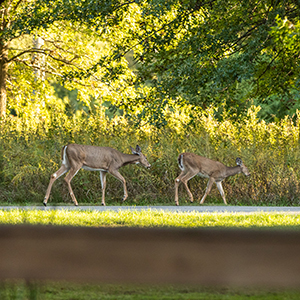 Deer passing through during easement celebration