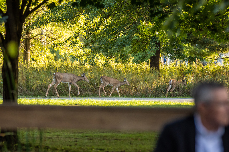 Deer comfortably cross a path at Prairiewoods during ceremony
