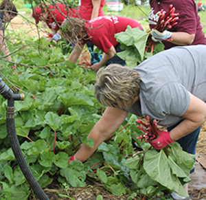 Volunteers from Viterbo picking veggies from organic garden at Villa St. Joseph